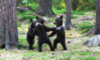 Photographer Snaps 3 Bear Cubs 'Dancing in the Woods' Like in a Fairytale Storybook