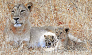 Lioness Mom Adopts Sick, Abandoned Leopard Cub and Takes Care of Him As Her Own