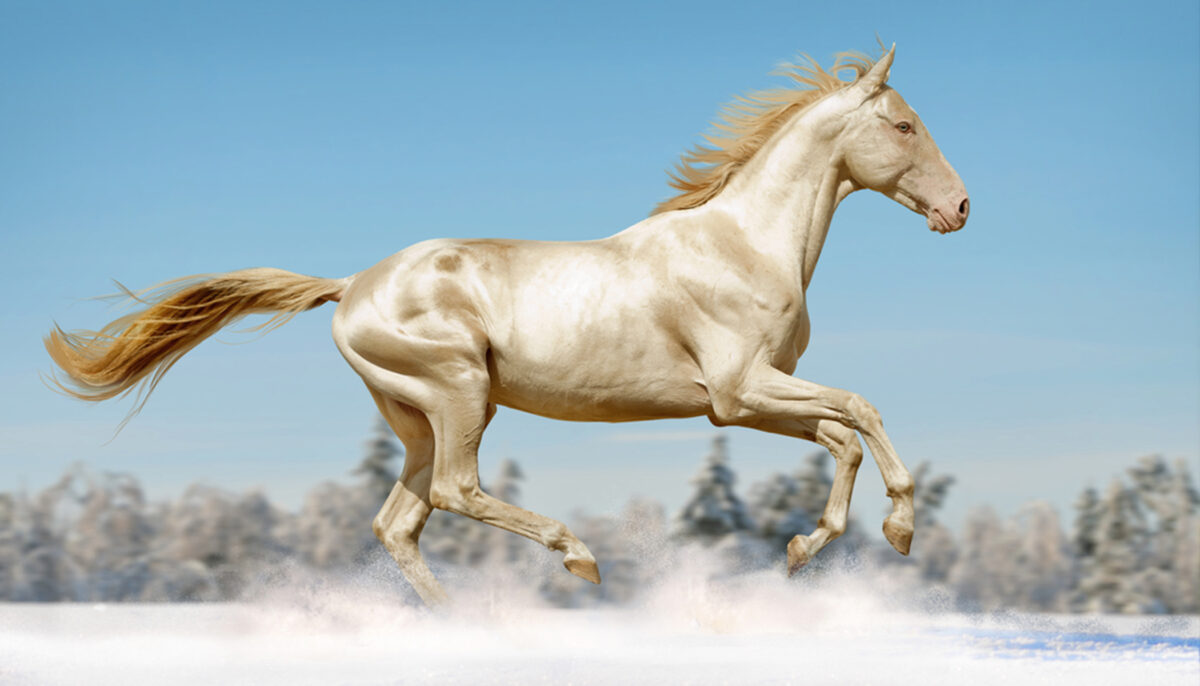 Extraordinary Dna Change Gives Horse A Coat Made Of Pure Gold
