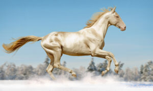 Extraordinary DNA Change Gives Horse a Coat Made of 'Pure Gold'