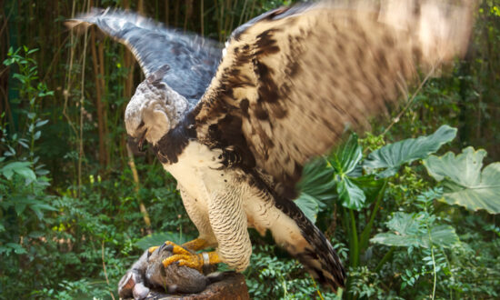 The Harpy Eagle Stands as Tall as a Child With Talons Longer Than a Grown Grizzly Bear's Claws