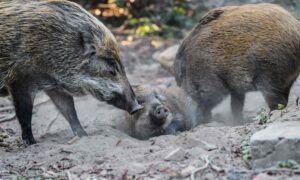 China Reports New African Swine Fever Cases Among Wild Boars