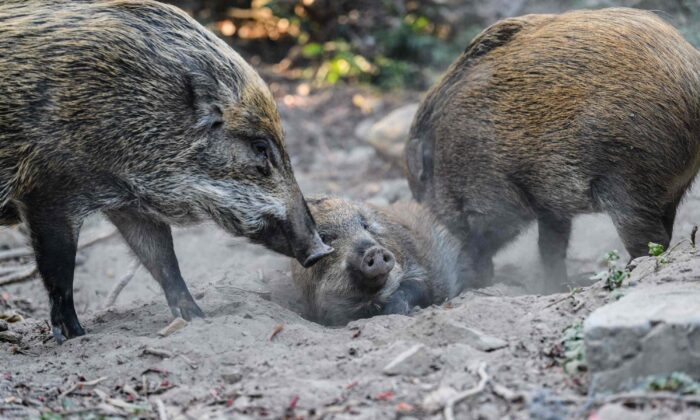 Wild boars in Hong Kong's Aberdeen Park on Jan. 25, 2019. (Anthony Wallace/AFP via Getty Images)