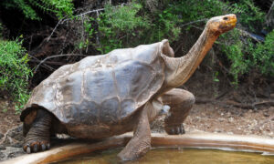 130-Year-Old Breeding Galápagos Tortoise Saved His Species From Near Extinction, Retires on Española Island