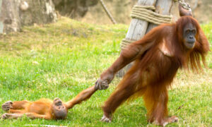 Baby Orangutan Throws Tantrum As His Unamused Mom Drags Him Around Safari Park Enclosure