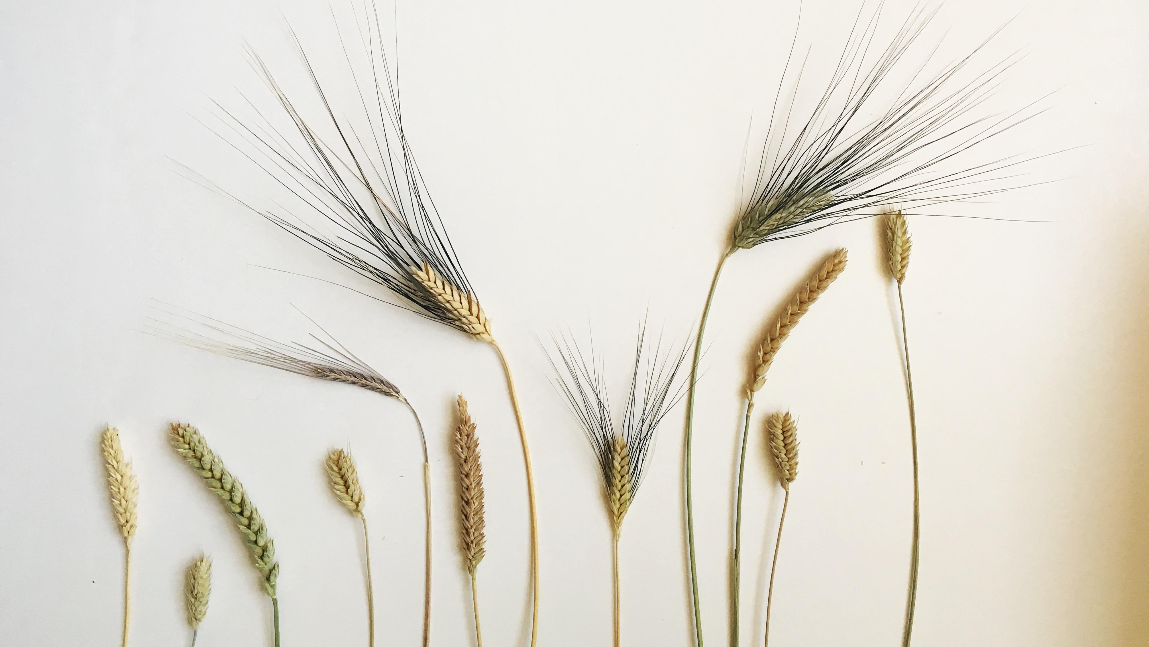 A sampling of Hayden Flour Mills' different heritage wheat varietals