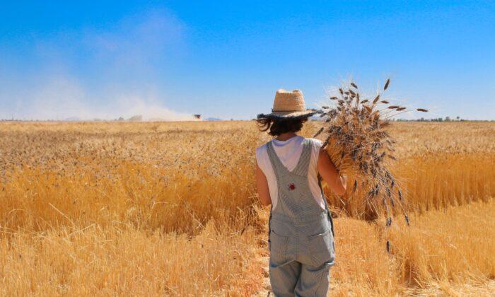 Harvest time at Sossaman Farms. (Courtesy of Hayden Flour Mills)