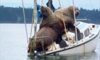 Hilarious Video Captures Giant Sea Lions 'Borrowing' Boat Off Coast of Washington
