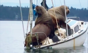 Hilarious Video Captures Giant Sea Lions 'Borrowing' Boat Off Coast of Washington