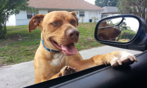 County Sheriff's Office Responds to Call of Pit Bull on Loose–but He Was Just Looking for New Friends