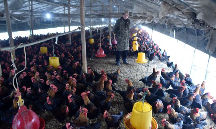 A worker looks at chickens at a poultry farm in Hefei, eastern China's Anhui Province, on Nov. 20, 2015. (STR/AFP via Getty Images)