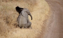 Lazy Baby Elephant Tired of Walking Throws Cutest Temper Tantrum Ever