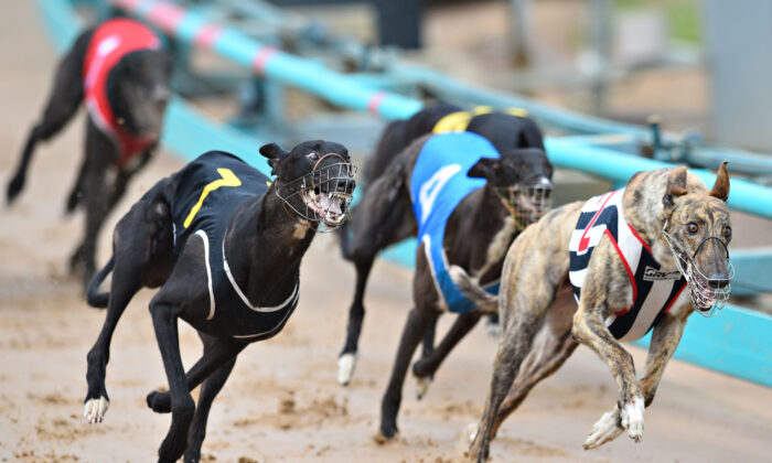 Greyhounds racing to the finish line in Melbourne, Australia, on Feb. 18, 2015. 