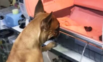Momma Dog Anxiously Watches Premature Puppies in Incubator–and the Video Goes Viral
