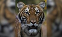 Lions, Tigers, and House Cats: You Won't Catch the CCP Virus From Felines, Experts Say