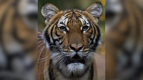 Nadia, a Malayan tiger at the Bronx Zoo