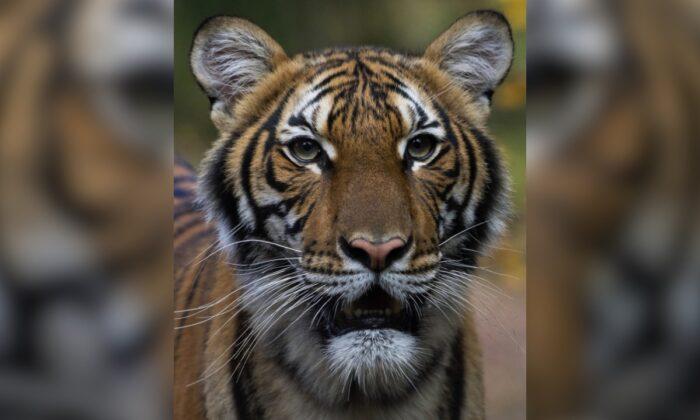 Nadia, a Malayan tiger at the Bronx Zoo in New York City. (Julie Larsen Maher/Wildlife Conservation Society via AP)