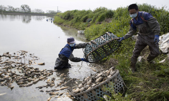 Workers prepare to replant aquatic tubers known as lotus roots in the Huangpi district of Wuhan in central China's Hubei Province, China, on April 6, 2020. (Ng Han Guan/AP Photo)