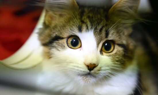 Chinese Study Finds Cats Highly Susceptible to CCP Virus