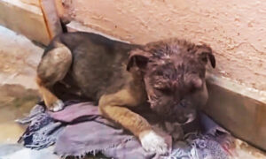 Stray Puppy With Swollen Head Infection Hides Alone in Alleyway on Dirty Blanket, Until Rescuers Arrive