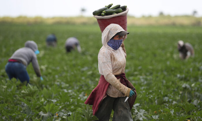 Farm workers harvest zucchini on the Sam Accursio & Son's Farm, in Florida City, Florida on April 1, 2020. (Joe Raedle/Getty Images)