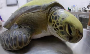 Green Turtle Rescued From Fisherman's Net Defecates 13 Grams of Plastic, Highlights Pollution Problem