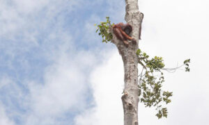 Terrified, Starving Orangutan Clings to Lone Tree as Bulldozers Destroy Her Rainforest Home