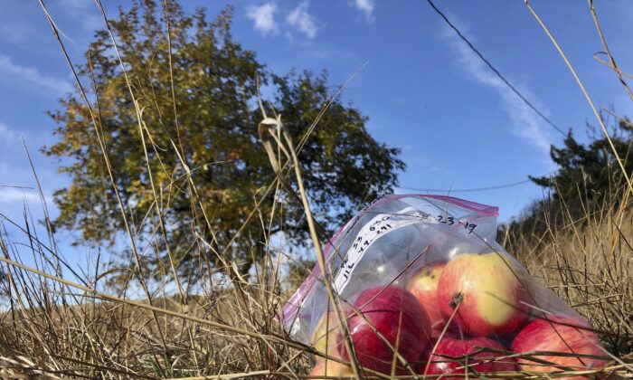 Apples collected by amateur botanists David Benscoter and EJ Brandt of the Lost Apple Project rest on the ground in an orchard at an abandoned homestead near Genesee, Idaho. (AP Photo/Gillian Flaccus)