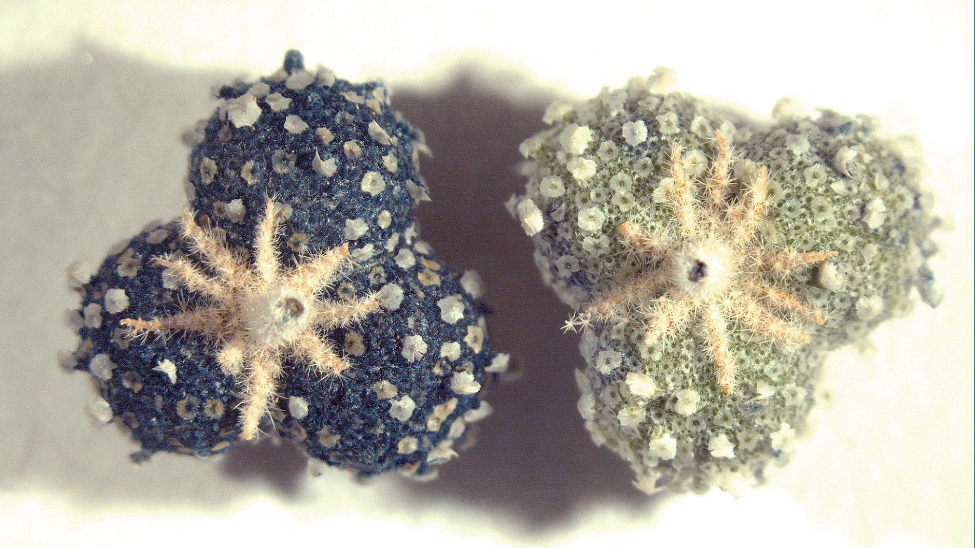 Chrozophora tinctoria
