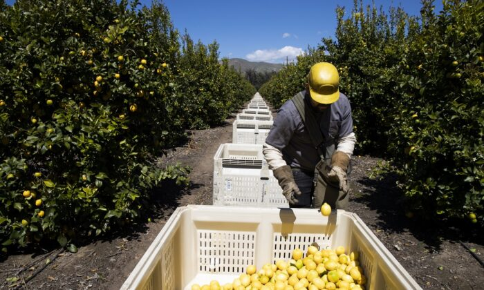 Agricultural laborers pick lemons inside the orchards of Samag Services, Inc, in Mesa, Calif. on March 27, 2020. (Brent Stirton/Getty Images.)