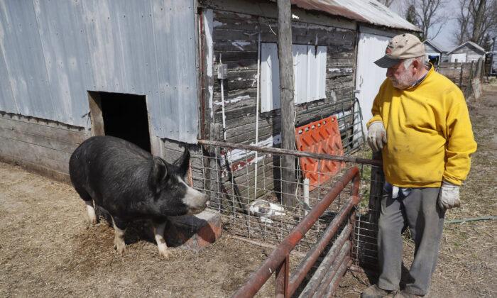 Hog farmer Chris Petersen looks at a Berkshire hog in a pen on his farm, near Clear Lake, Iowa, on April 17, 2020. (Charlie Neibergall/AP Photo)