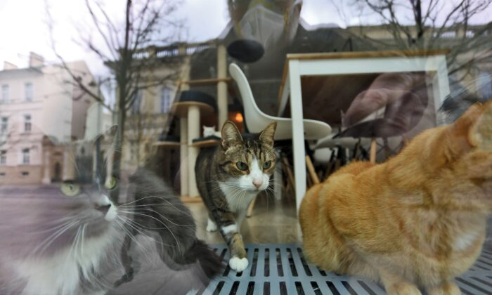 Cats are seen as they rest behind the window of a cat cafe in Lithuania in a file photograph. (Petras Malukas/AFP via Getty Images)