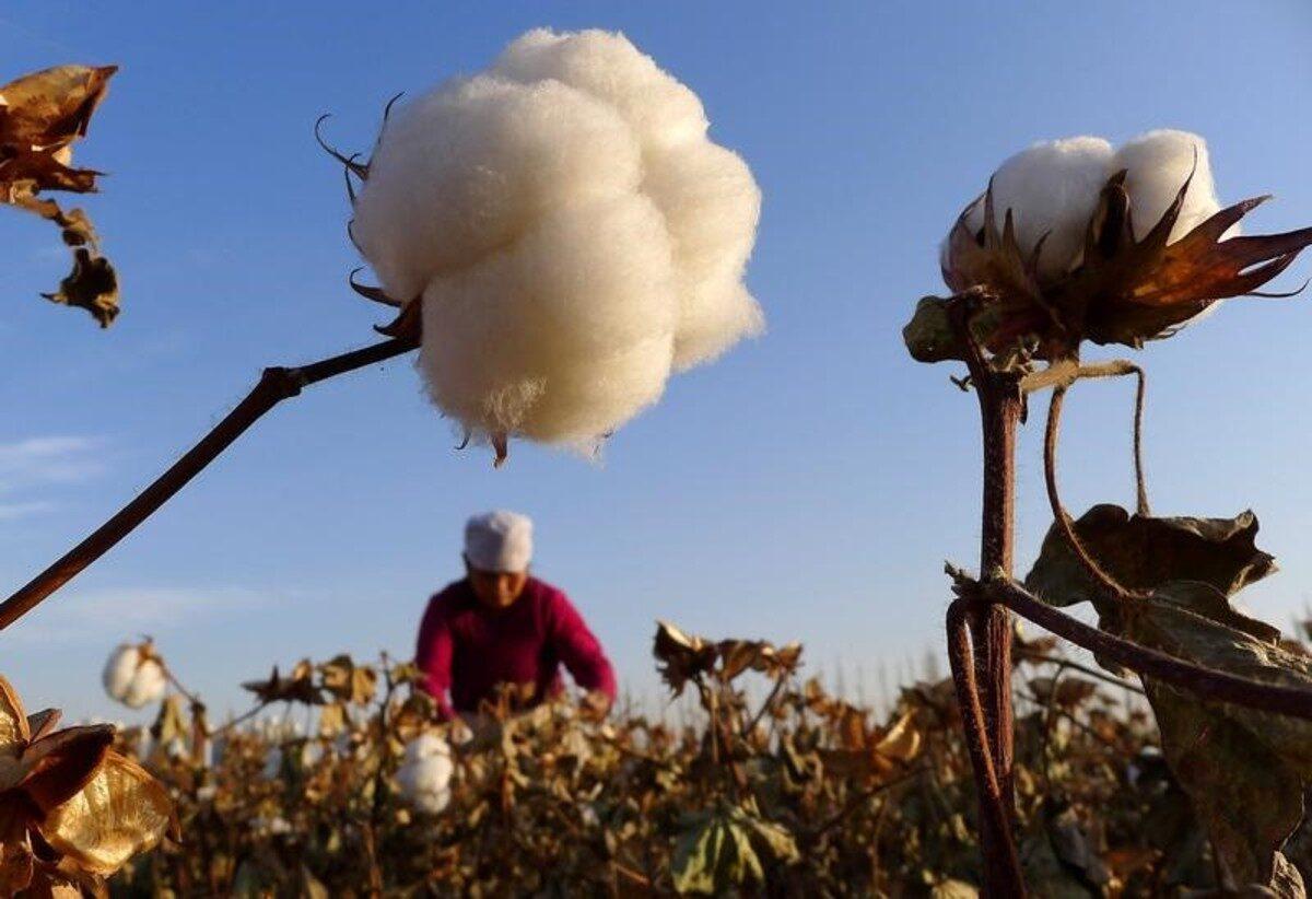 Farmer cotton field