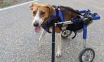 A Two-Legged Dog Named Lieutenant Dan Is This Year's Honorary Cadbury Easter 'Bunny'
