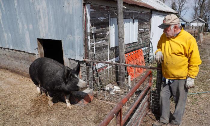 Farmer Chris Petersen looks at a Berkshire hog in a pen on his farm near Clear Lake, Iowa, on April 17, 2020. (Charlie Neibergall/AP)