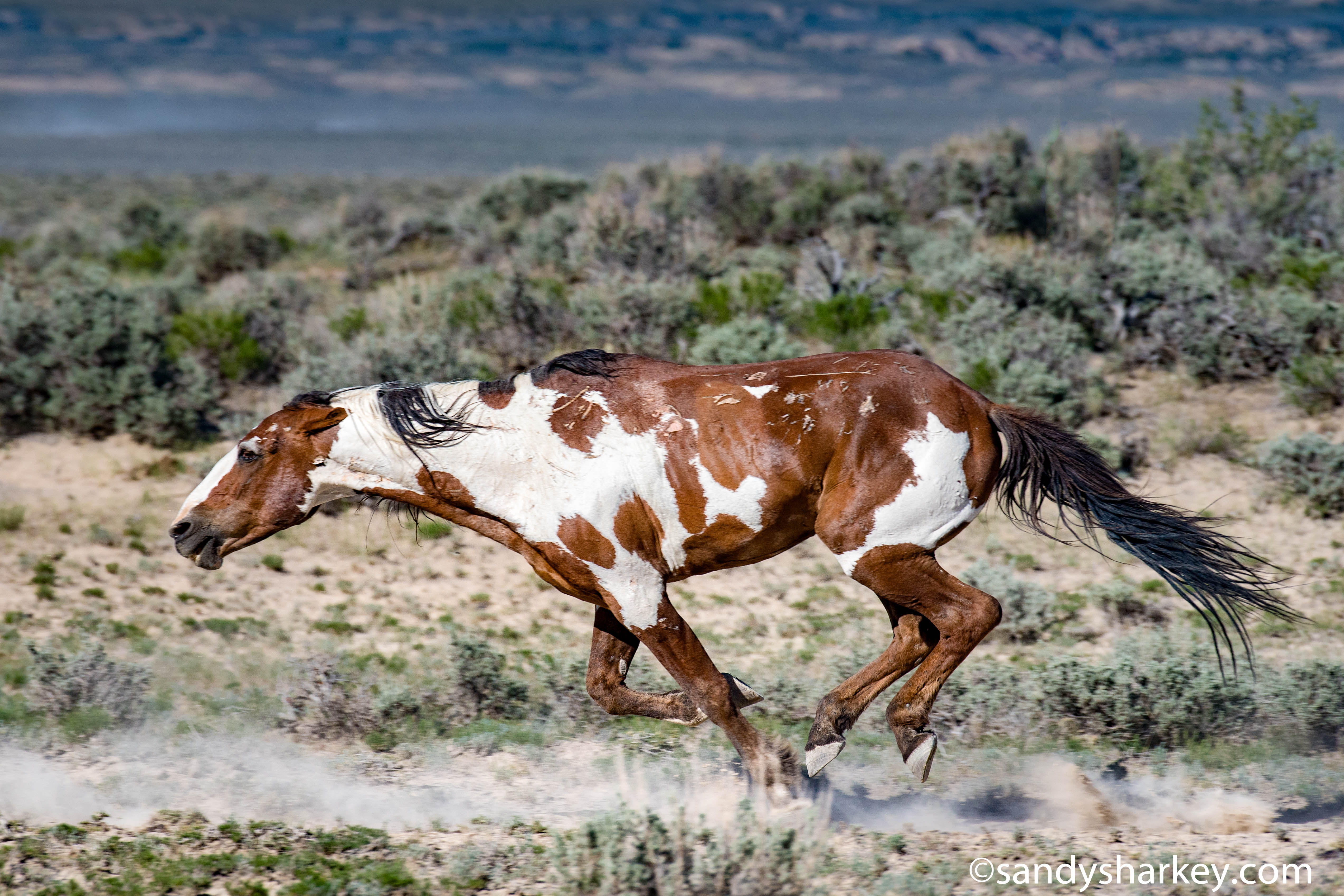 Meet Picasso America S Most Famous Wild Horse That Will Stun You With His Beautiful Coat