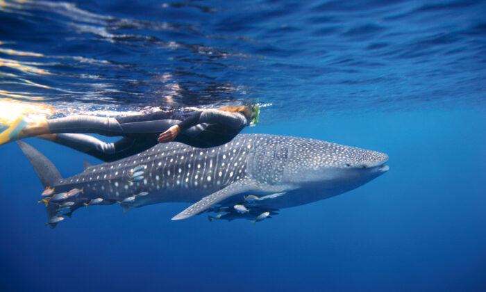 Swimming with whale sharks. (Courtesy of Tourism Australia)