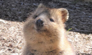 Meet Quokkas, These Cute-Looking Creatures Are The 'World's Happiest Animal'