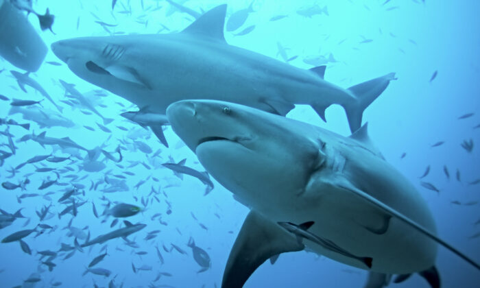 Bull sharks swim in the Beqa Lagoon, Fiji. (Martin Prochazkacz/Shutterstock)