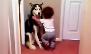 Frightened Toddler Runs to Pet Husky for Protection From Vacuum Cleaner, and the Video Is Adorable