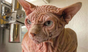 Wrinkly Sphynx Cat Might Look Mean, but His Lovable Personality Is Taking the Internet by Storm