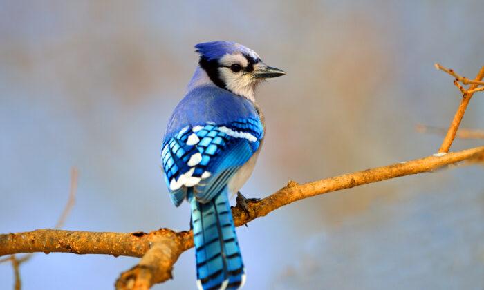 Blue jay. (Von Brian E Kushner/Shutterstock)