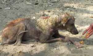 Stray, Mangy Dog With Skin Looking Like Barnacles Undergoes Incredible Transformation