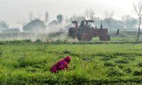 Locust Invasion Wreaks Havoc on Pakistan's Crops, Orchards