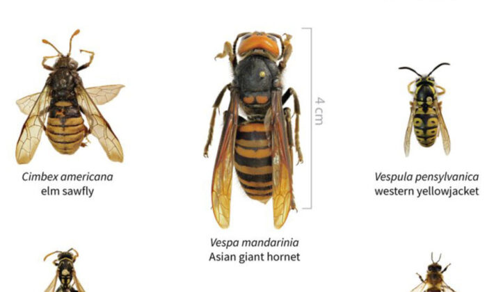 A size comparison of the Asian giant hornet and several other insects. (Courtesy of Washington State Department of Agriculture)