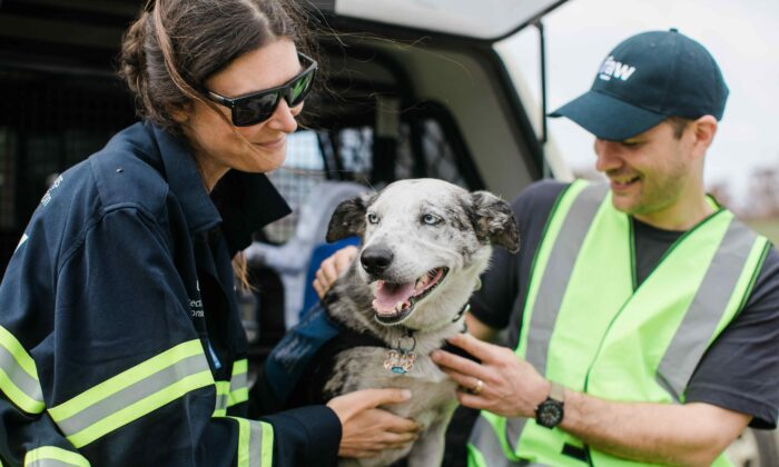 Bear the koala detection dog stops by for a quick visit to Two Thumbs Wildlife Trust in the Snowy Mountains of NSW, Australia. (AAP Image/supplied by International Fund for Animal Welfare)