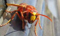 Experts Rush to Exterminate Asian 'Murder Hornets' Discovered in US for First Time to Save Honey Bees