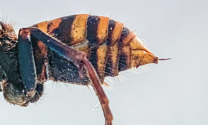 The stinger of a dead Asian giant hornet is photographed in a lab in Olympia, Wash., on Dec. 30, 2019. (Karla Salp/Washington State Department of Agriculture/AP)