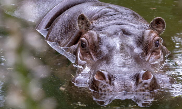 The oldest hippo in Australia at the Adelaide Zoo on Dec. 29, 2018. (Adrian Mann)