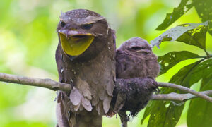 Meet the Frogmouth, One of Nature's Most Elusive and Fascinating Birds